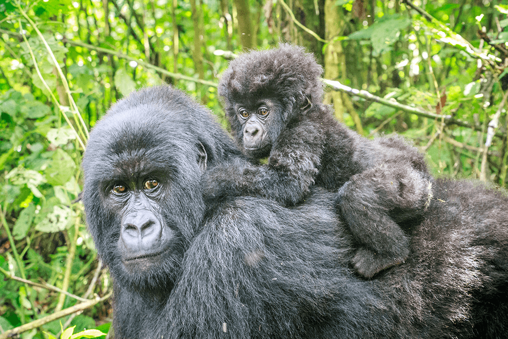 Baby-Mountain-Gorilla